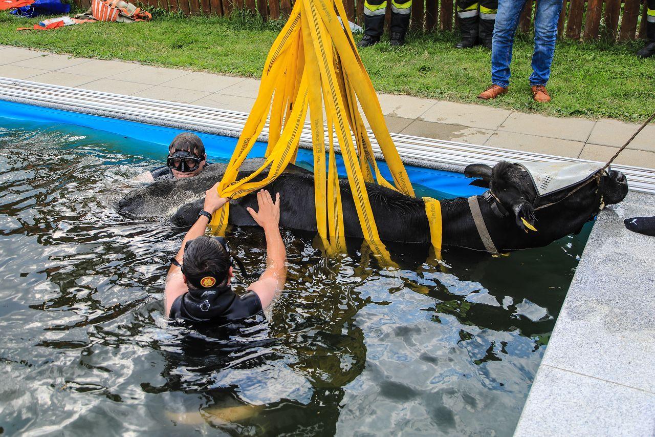 Kuh in Pool in Österreich gefallen