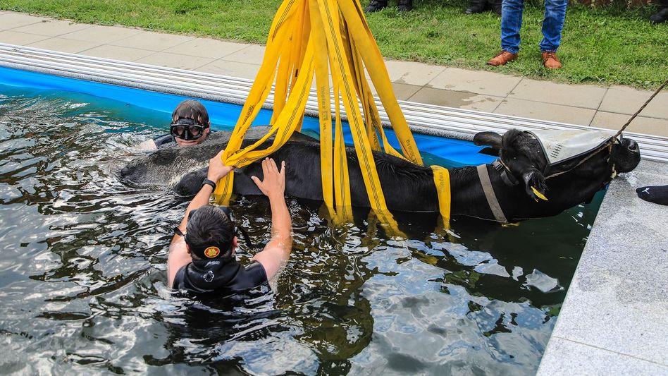 Einsatzkräfte der Feuerwehr bergen die verunglückte Kuh aus einem Swimmingpool im obersteirischen Bezirk Murtal