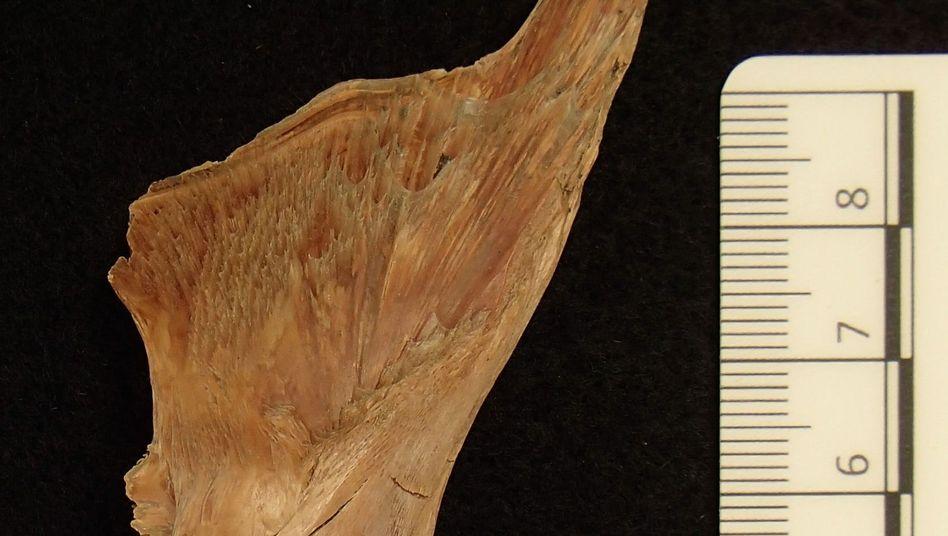 Kabeljau-Fund aus Haithabu