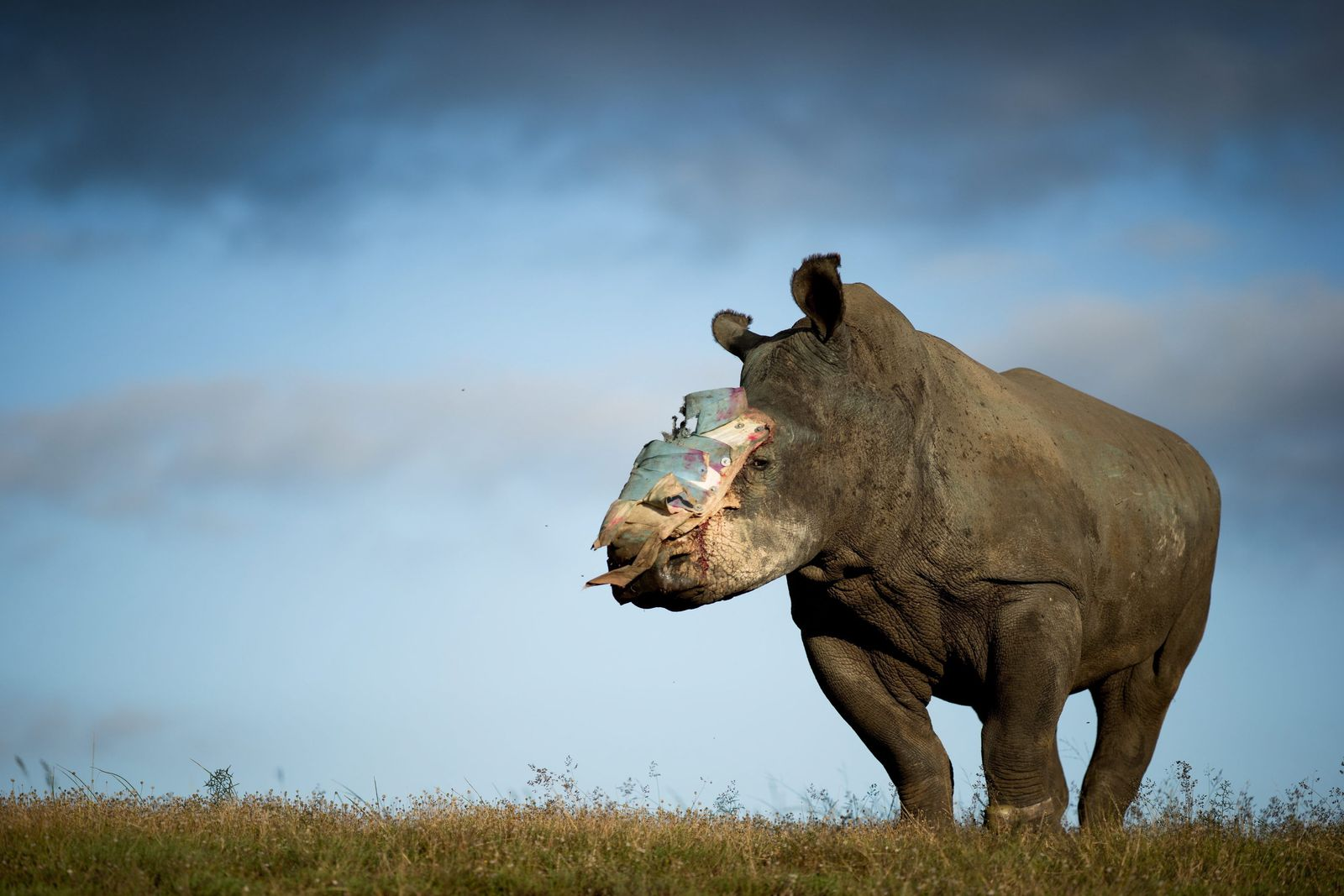 Hope the rehabilitated Rhino