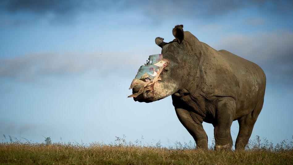 Südafrikanisches Nashorn nach einem Angriff durch Wilderer