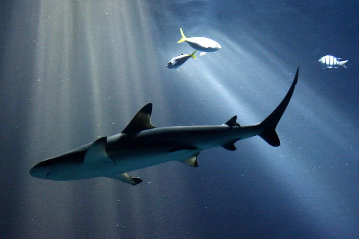 Schwarzspitzen-Riffhai im Tierpark Hagenbeck: Haie können an Krebs erkranken