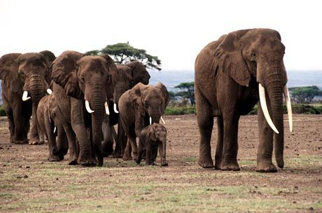 Afrikanische Elefanten: Als Maßeinheit nicht wirklich geeignet