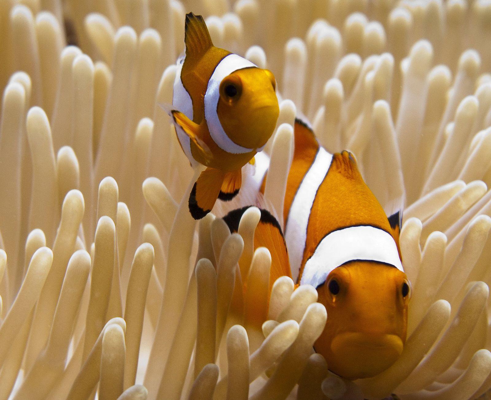 Clownfisch / IUCN / WISSENSCHAFT
