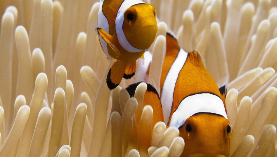Weitreichende Beziehung: Clownfische und Seeanemonen