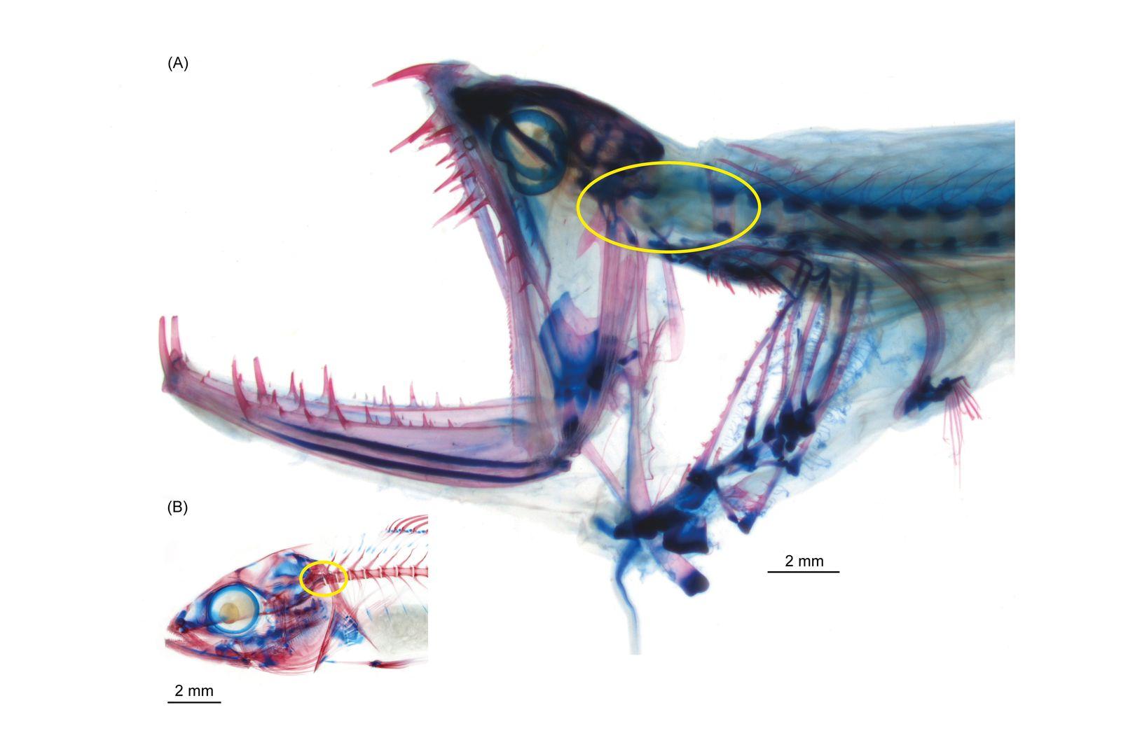 EINMALIGE VERWENDUNG Tiefseefisch mit rekordverdächtigem Gelenk