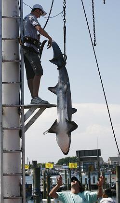 Gefangener Hai: Saft der Haileber könnte neues Antibiotikum liefern