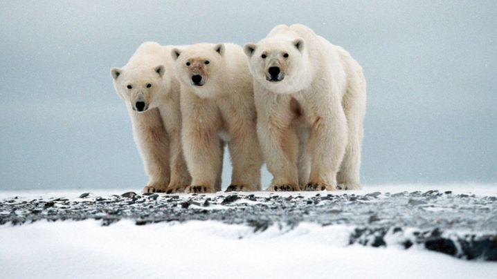 Eisbären: Genanalyse verrät Wurzeln der Arktisriesen
