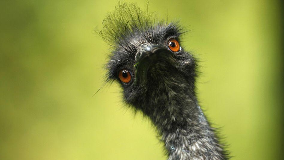 Emu: Hype um Öl der zotteligen Laufvögel
