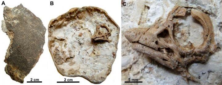 Dino-Embryo: Die Eischale lösten die Forscher mit Säure auf