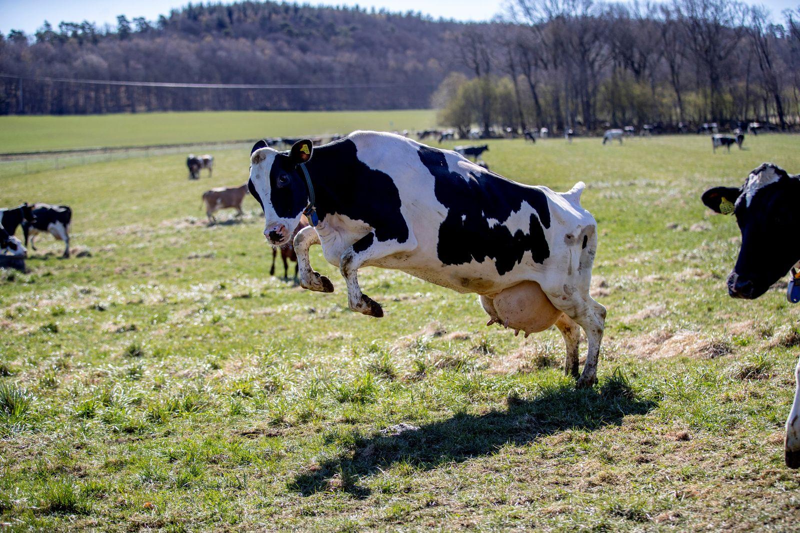 Cow release at the farm Berte Gard outside Falkenberg