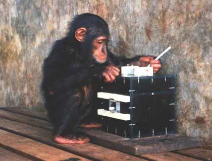 Schimpanse beim Herumstochern in Futterbox