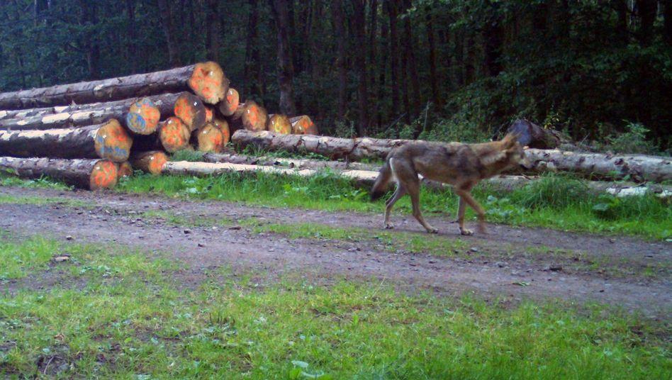 Freilebender Wolf im hessischen Vogelsbergkreis