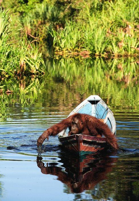 Orang-Utans lernen durch Zusehen: Auf Borneo beobachteten sie bootfahrende Menschen und konnten es bald selbst.