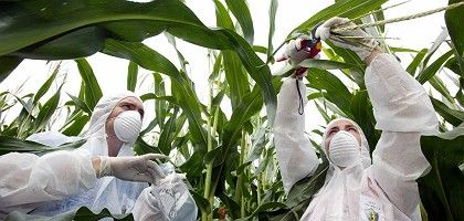 Greenpeace activists take a sample from a Monsanto test site near Borken in North Rhine-Westphalia: The GM crop MON 810 has been banned in Germany.