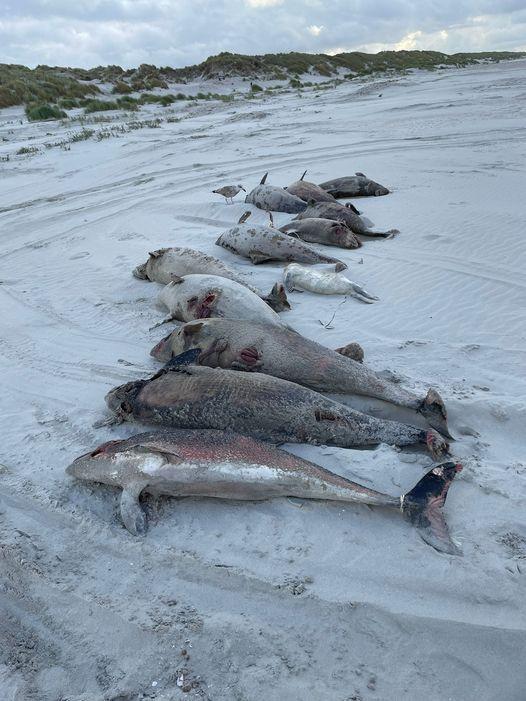 Dutzende tote Schweinswale auf niederländischen Inseln angespült