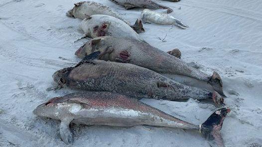 Tote Schweinswale am Strand von Ameland: »Das ist außergewöhnlich und besorgniserregend«