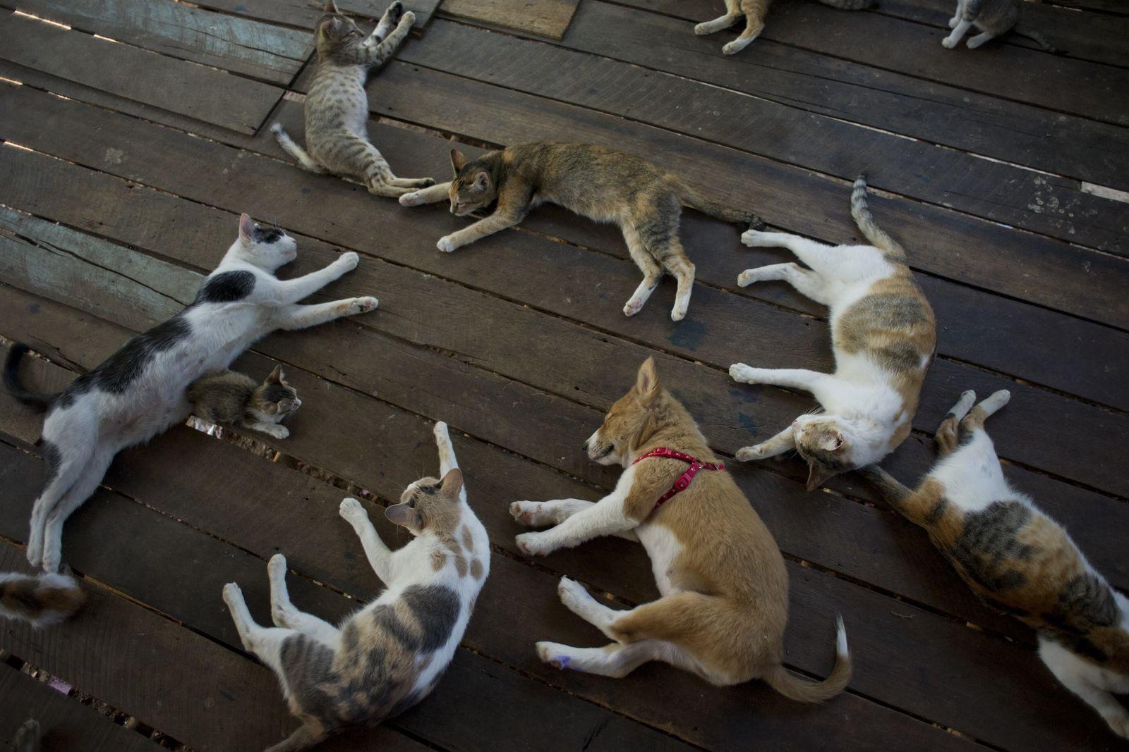 BDT/ Burma/ Katzen-Hund