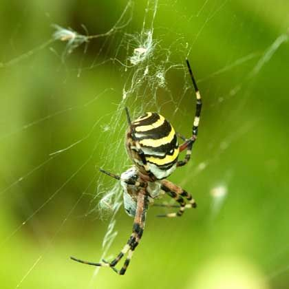 Wespenspinne: Abgebrochenes Genital erschwert nachfolgende Paarungen des Weibchen