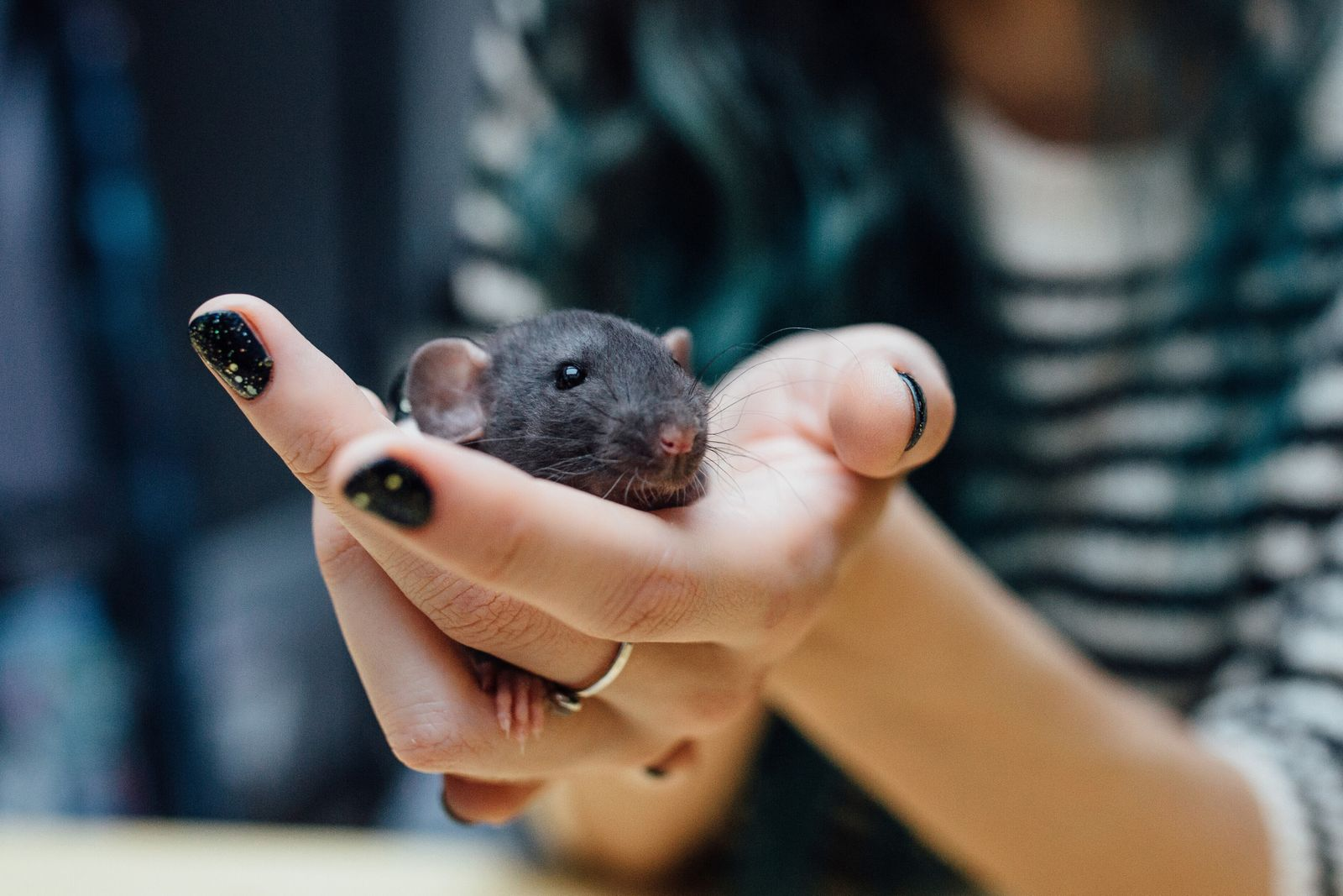 Female hands with cute funny curly puppy rat on blurred girl background, closeup. Animals at home. Friendly pet brown rat in human hand indoor. (photominus)