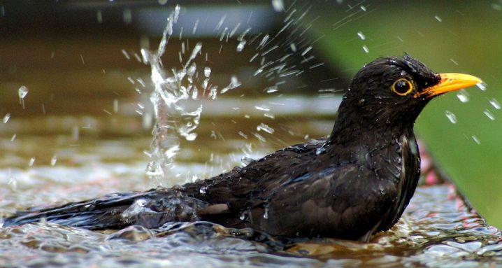 A bathing blackbird (archive photo)