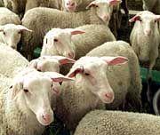 Schafe: Kuscheln dient Entspannung und Wohlbefinden