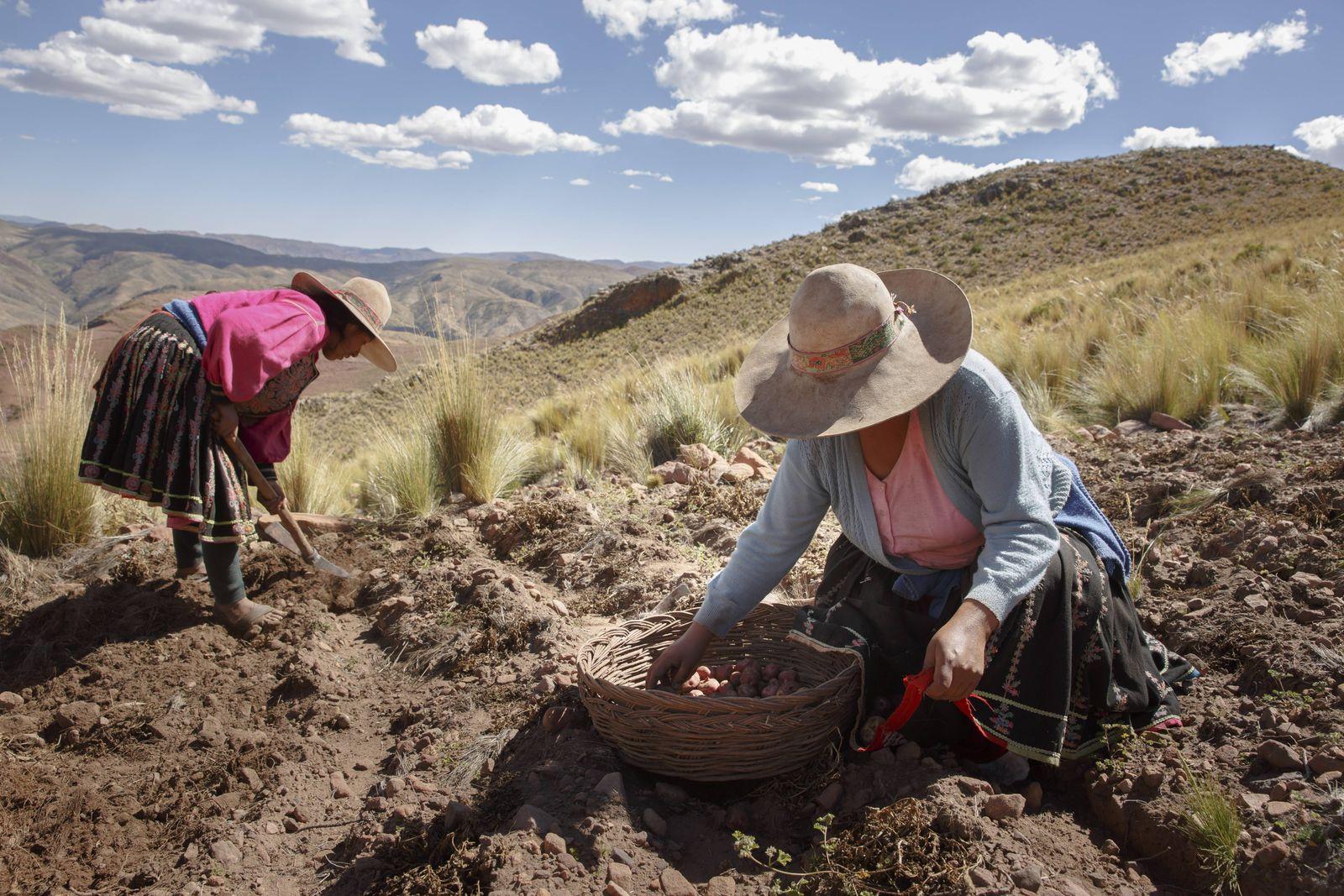 Zwei bolivianische Baeuerinnen bei der Kartoffelernte in den Anden von Bolivien Sacaca 15 04 2016