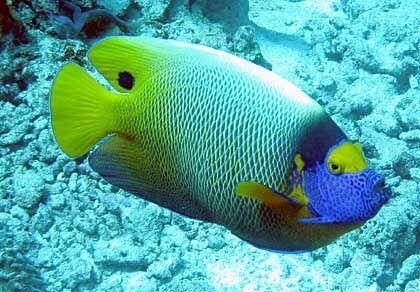 Fisch recht freundlich: Ein farbenfroher Blaumasken-Kaiserfisch posiert für die Kamera
