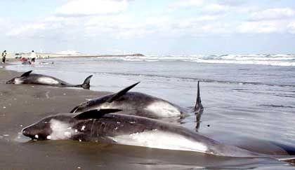 """Gestrandete Delfine: """"Es könnte eine Krankheit im Spiel sein"""""""