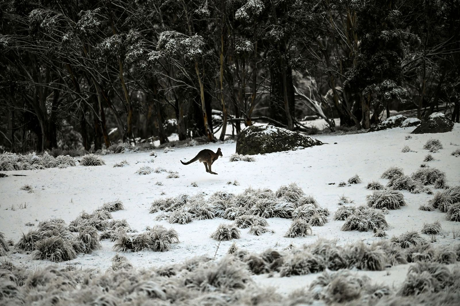 Kangaroo in the snow, Nimmitabel, Australia - 04 Jul 2020