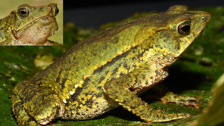 Wie der Name schon verrät, haben Nasenkröten ein langes Riechorgan