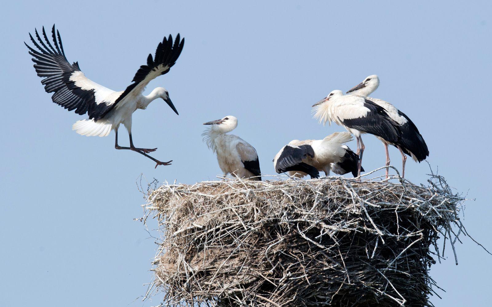 Fünffacher Storchennachwuchs