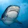 Forscher wollen aus Haiattacken »negative Begegnungen« machen