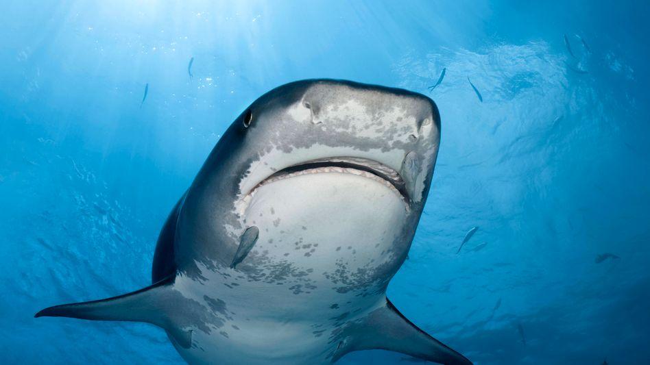 Ein Tigerhai schwimmt durch den Ozean (Symbolbild)