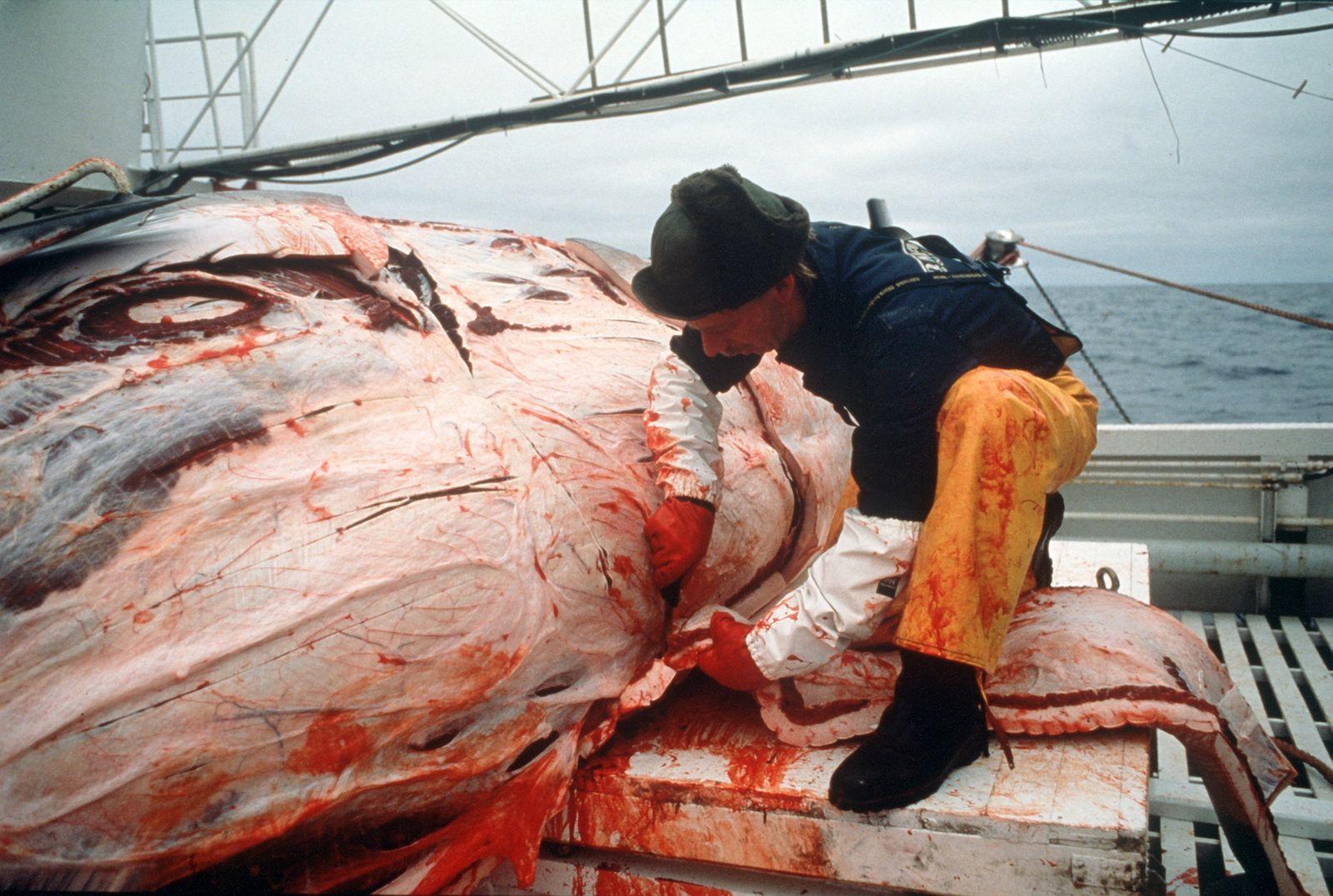 Norwegen wegen Walfang in der Kritik