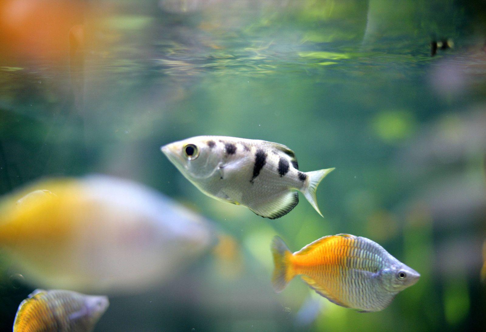EINMALIGE VERWENDUNG Schützenfisch/ erkennt Gesichter