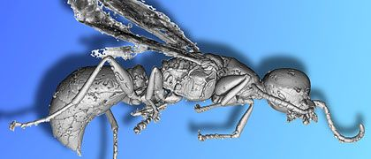 Paläontologie digital: Schürfen im Inneren undurchsichtiger Bernsteine