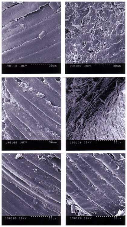 Unverdaute und Kopi-Luwak-Bohnen unter dem Mikroskop: Enzyme bauen Proteine ab