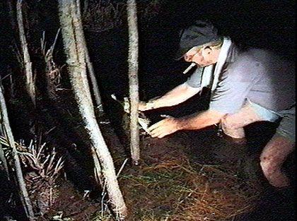 Nur etwas für professionelle Abenteurer: Nächtlicher Fang eines jungen Kaimans mit der bloßen Hand