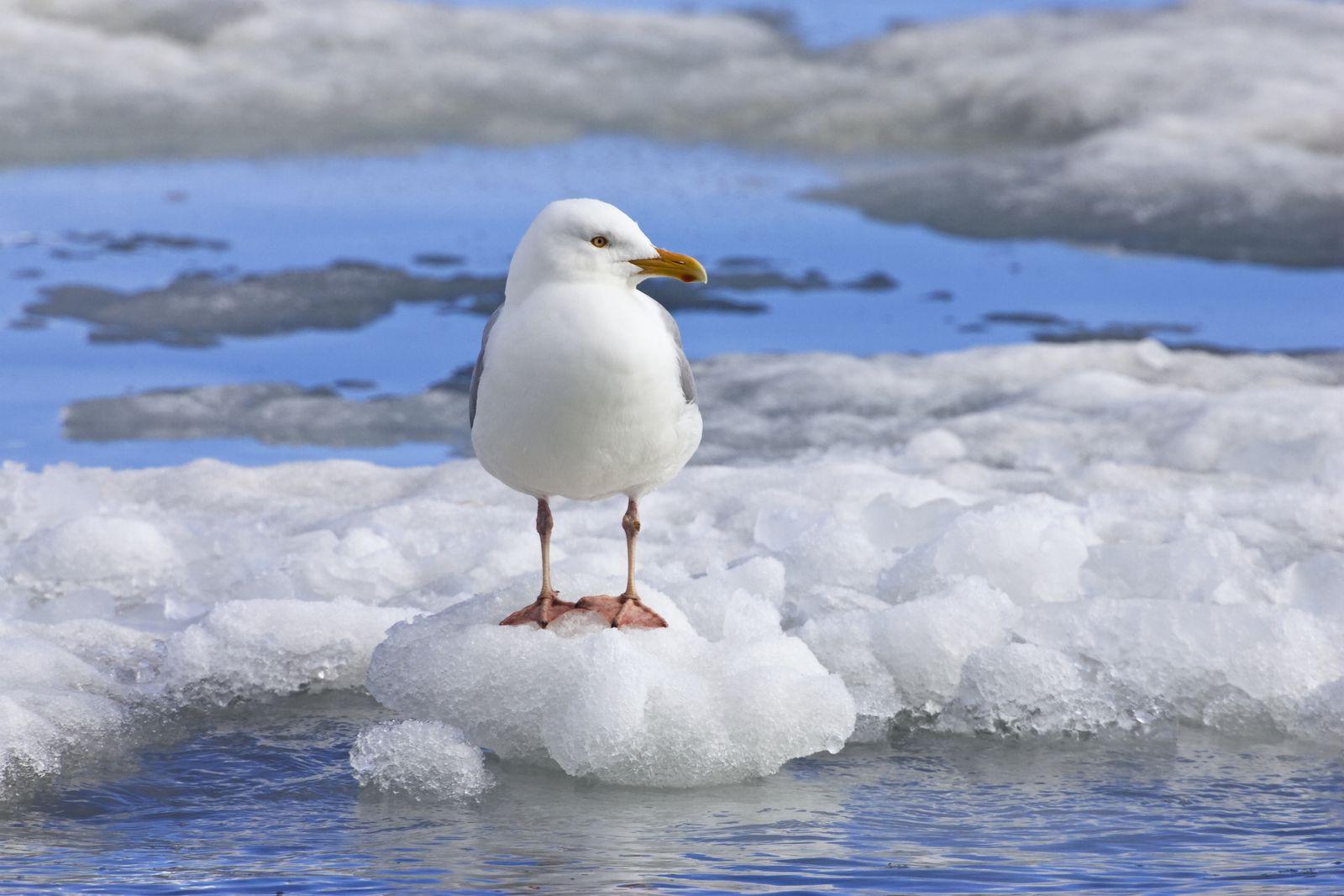 NICHT MEHR VERWENDEN! - Glaucous Gull / Spitsbergen / Norway / Eismwen