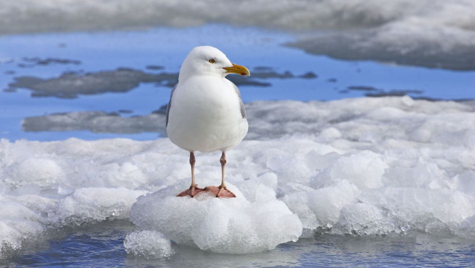 Arktische Eismöwe (Larus hyperboreus): Tod am Ende der Nahrungskette