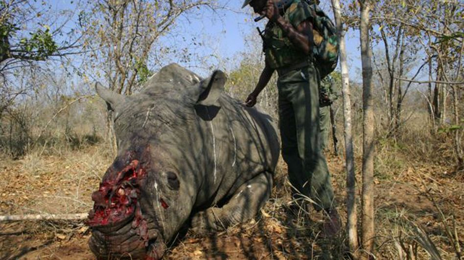 Getötetes Nashorn (Südafrika 2009): 45.000 Euro pro Kilogramm Horn