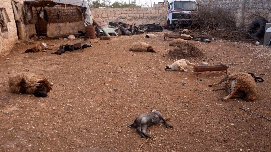 Möglicher Chemiewaffen-Einsatz: Schafkadaver in der Provinz Aleppo im März 2013
