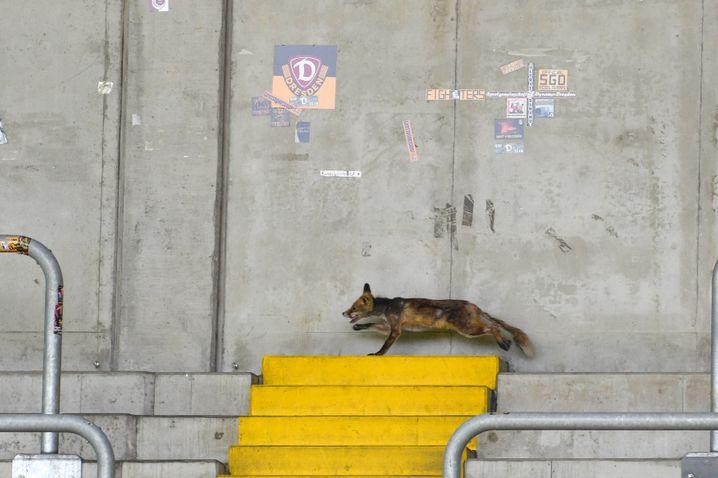 Statt Fans: ein Fuchs im Stadion während eines Spiels zwischen Dresden und Köln