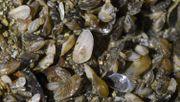 Quagga-Muschel richtet Schäden im Bodensee an