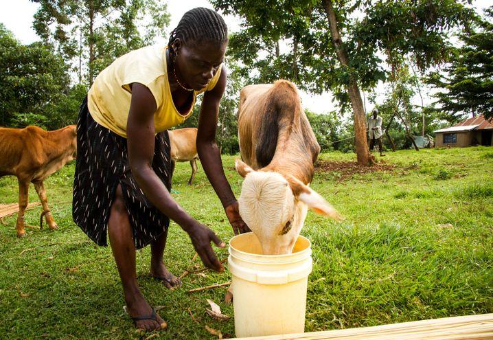 Auch ein paar Rinder haben Habil Ongolo und seine Frau Evelyn von der Einmalzahlung gekauft.
