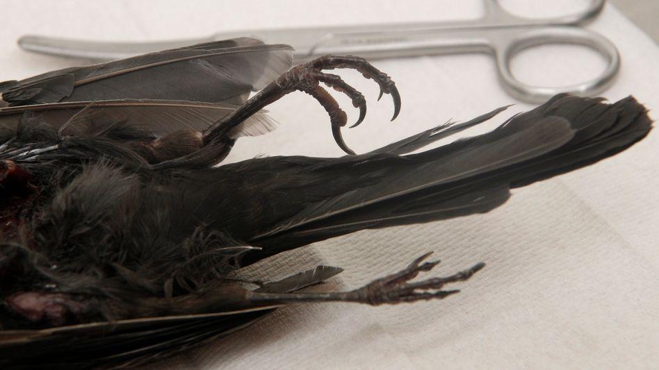 Kadaver einer am Usutu-Virus verendeten Amsel: Vogelsterben in Südwestdeutschland