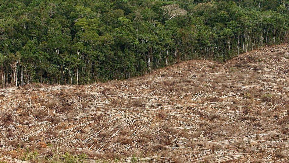 Regenwald in Gefahr: Die illegale Abholzung bedroht eines der artenreichsten Gebiete der Erde