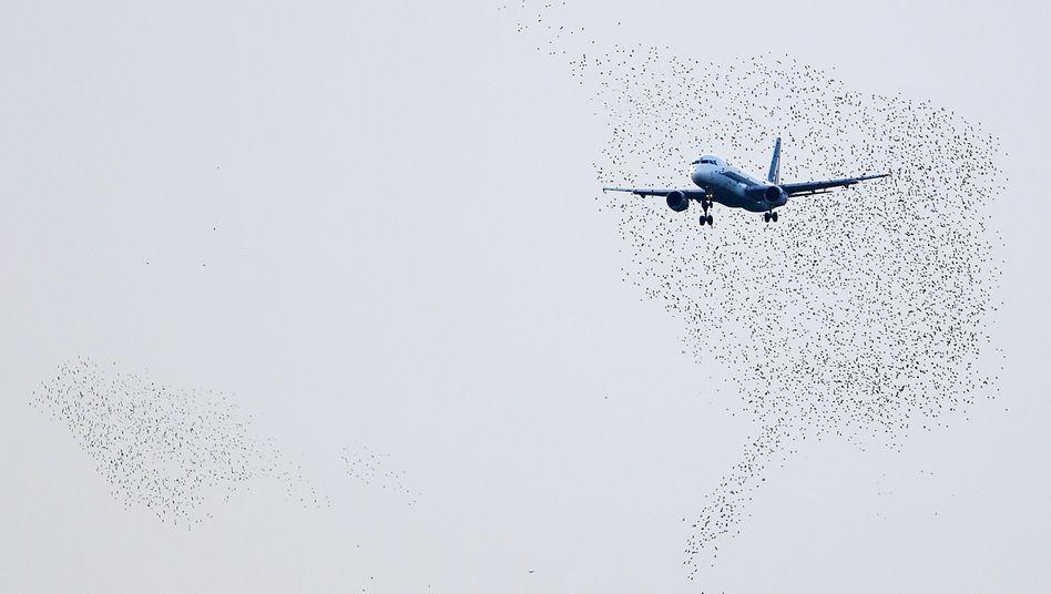 Alitalia-Maschine und Vogelschwarm