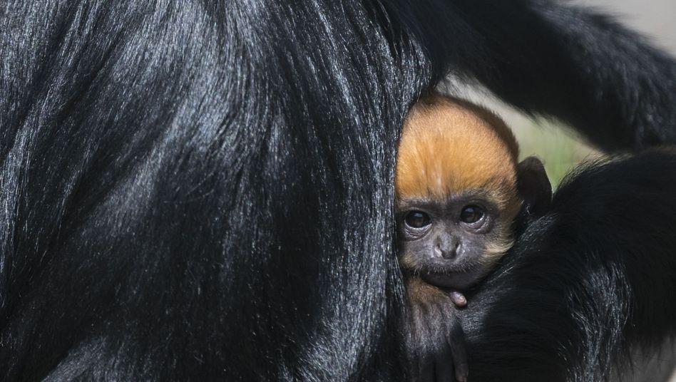 Das Affenbaby im Zoo in Besançon